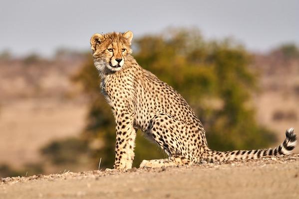 Cheetah Cubs Mashatu Botswana 2019