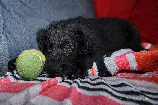 Black Terrier Puppy