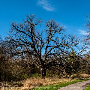 015-tree_oak-wdsm-25apr14-006-7149