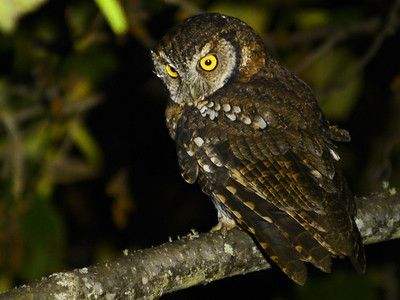 Koepke's Screech-Owl