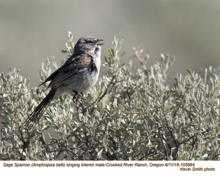 Sage Sparrow M105664.jpg