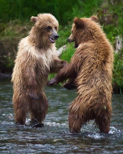 The Stand-Off:  Cub Style Russian River, Kenai Peninsula Alaska © 2011