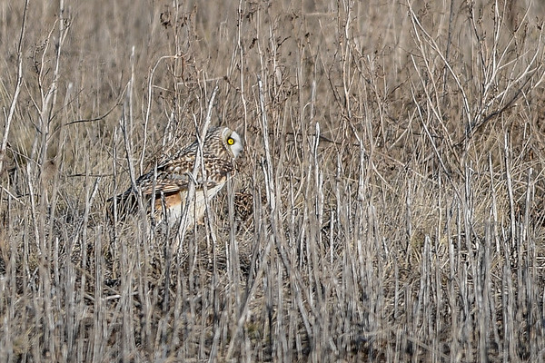 3-26-16 Short-eared Owl - Take Off