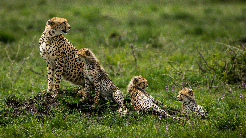 Cheetahs-0201.jpg