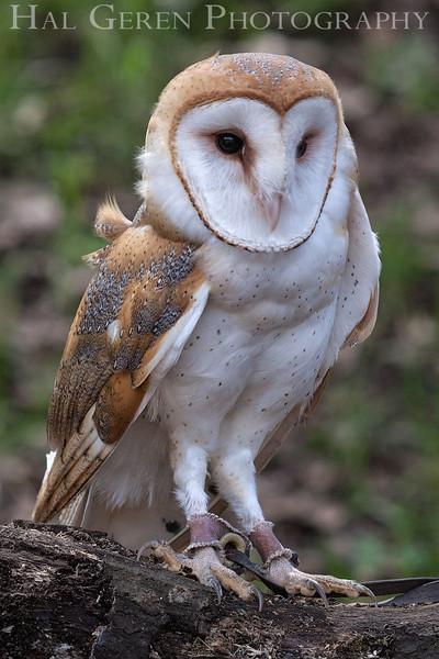 Barn Owl Hayward, California 1303S-BO9