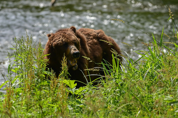 8-04-14 Grizzly Bear Called Jaws