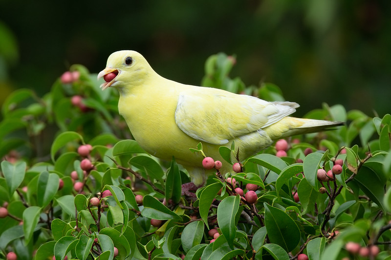 Leucanistic Pink-necked Green Pigeon