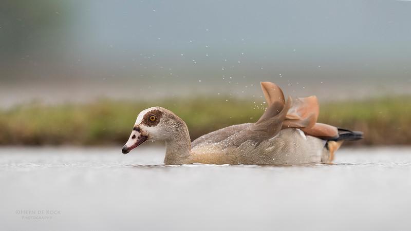 Egyptian Goose, Zimanga, South Africa, May 2017-1.jpg
