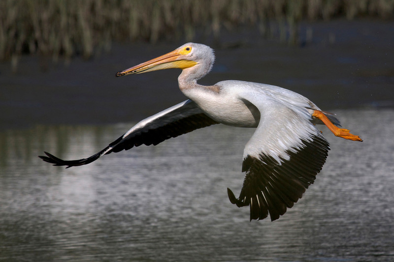 American White Pelican flight series (frame 10)