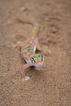 Gecko, Namib Sand
