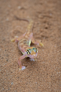 Gecko (3)
