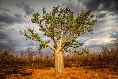 Baobab Tree, Australia