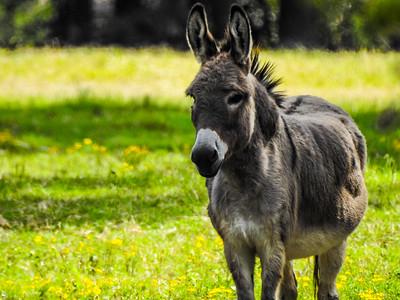 Mule & Goat
