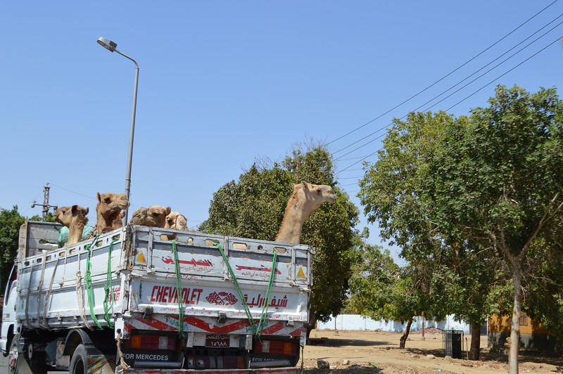 30424_Camels.JPG