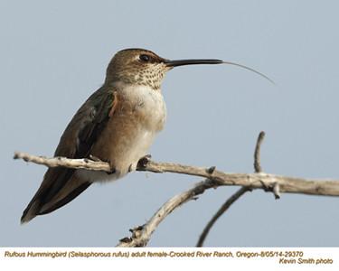 Rufous Hummingbird F29370.jpg