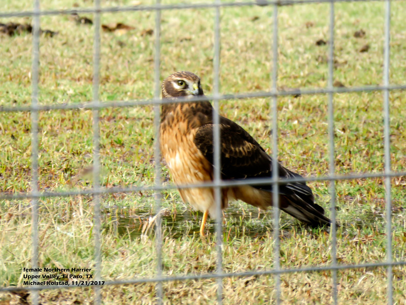 IMG_8731 3T fm Northern Harrier our pasture.jpg