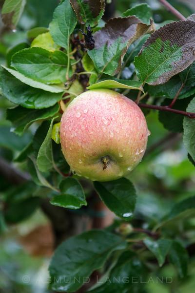 Eple på gren