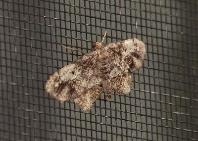 Porcelain Moth