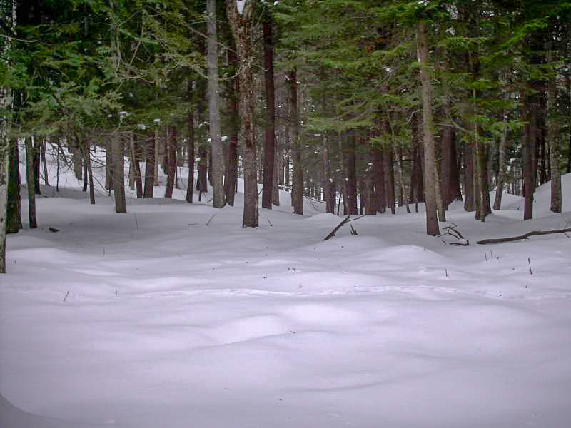 Snow and Pines