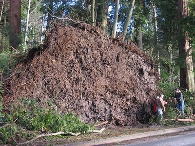 Stanley Park  Wind Damage - Winter 2006-7