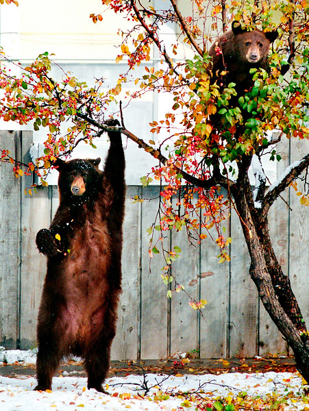 © Paul Conrad/Pablo Conrad Photography A mama and  her cub hang out in a crab apple tree near the intersecion of 6th and Main Streets in Aspen, Colo.