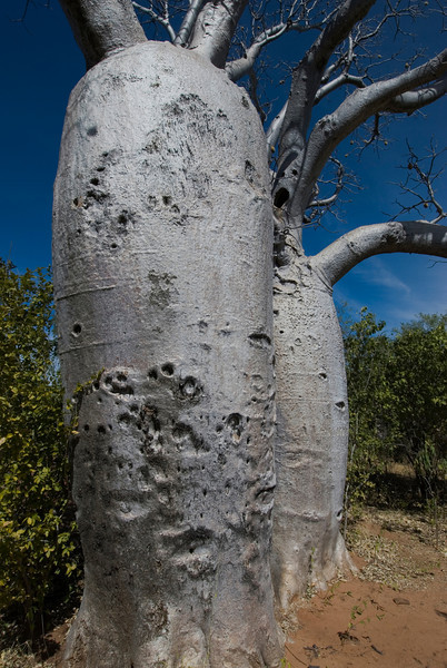 Boab Trees 4, Gregory National Park - Northern Territory, Australia