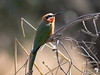 White Fronted Bee-eater 1