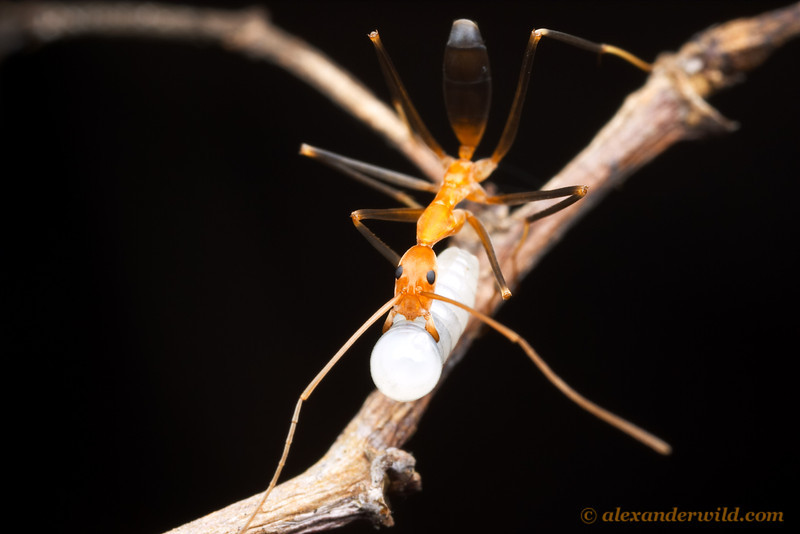 Leptomyrmex darlingtoni