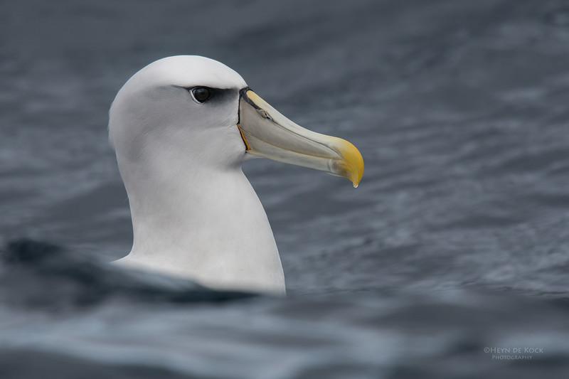 Shy Albatross, Eaglehawk Neck Pelagic, TAS, Sept 2016-4.jpg