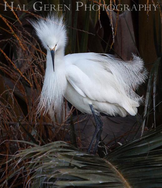 Snowy Egret male Newark, California 1304N-SE41