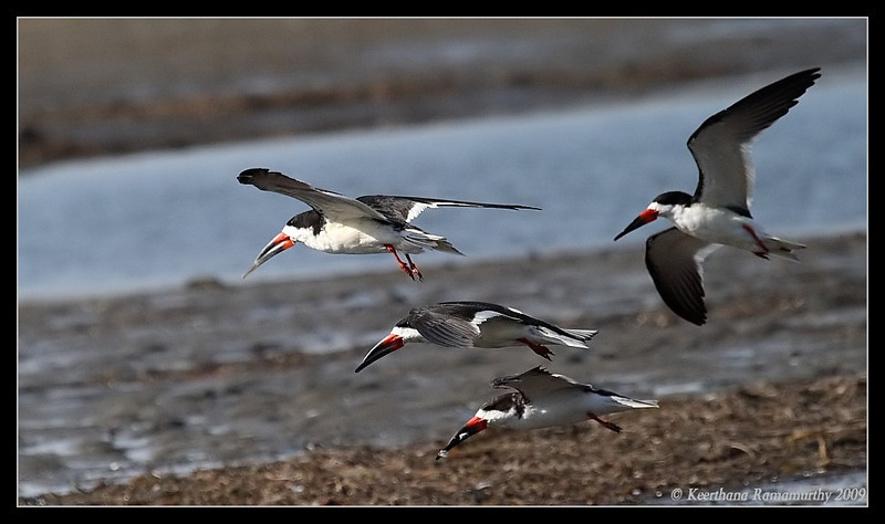 Black Skimmers in Flight, Robb Field, San Diego River, San Diego County, California, April 2009