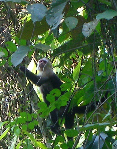 310-0859-ManuelAntonioPark-CapuchinMonkey.jpg