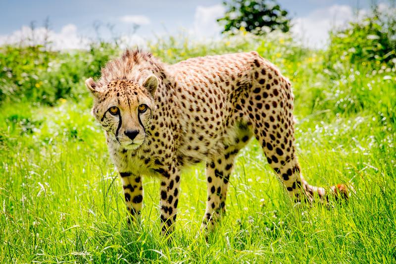 Cheetah (Acinonyx jubatus) Captive