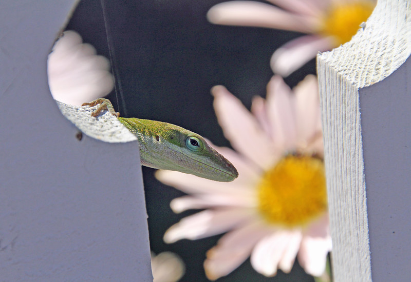Green Anole 7