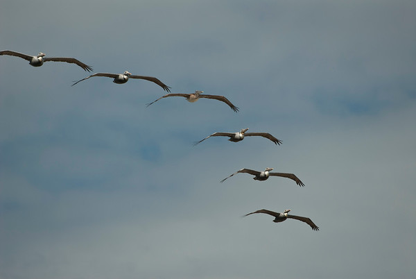 Pelicans in Synchrony