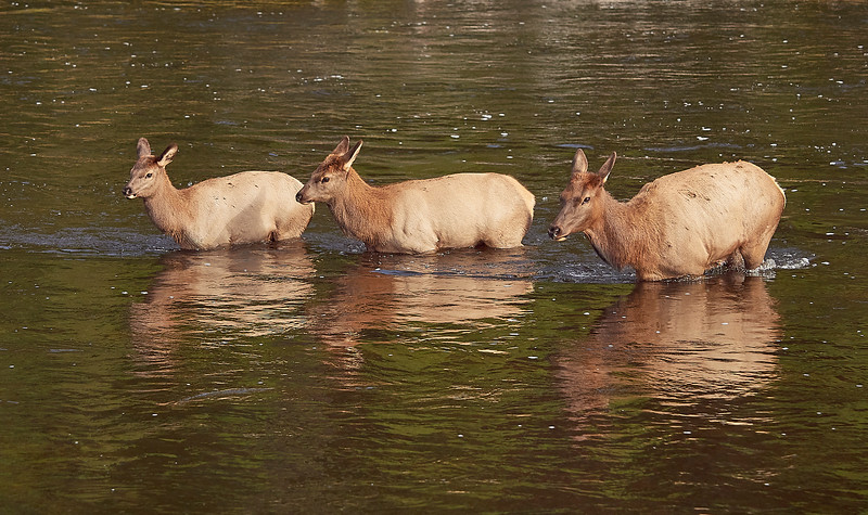 Female Elk and 2 youngsters