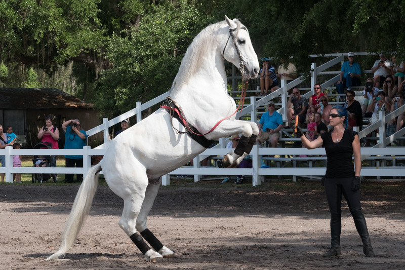 Royal Lippizaner Stallions