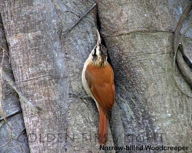 Narrow-billed Woodcreeper, Pantanal, Brazil