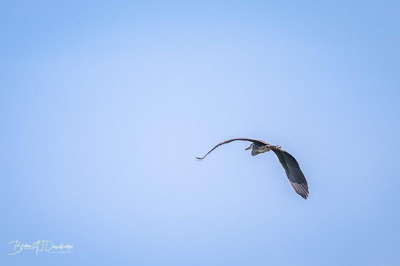 A passing Heron