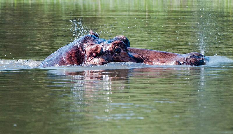 Hippos-7.jpg