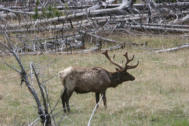 "male elk in ""velvet"""