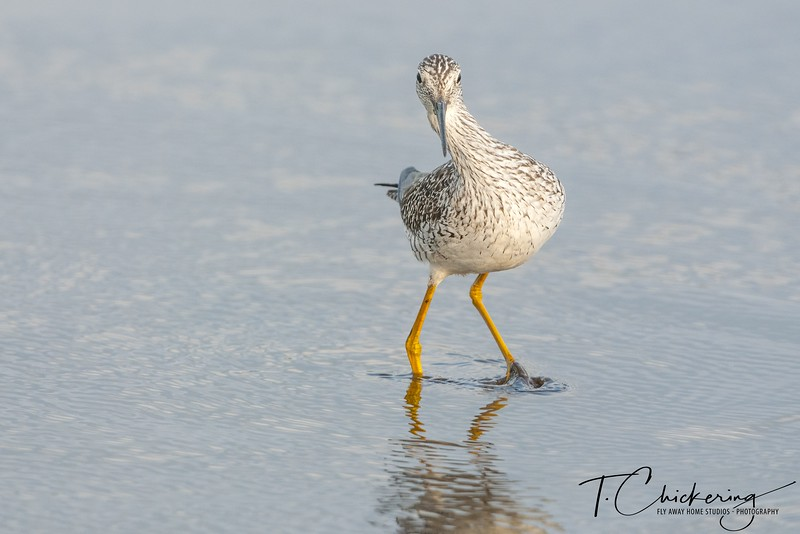 Greater Yellow Legs Hunting-1557089824924.jpg