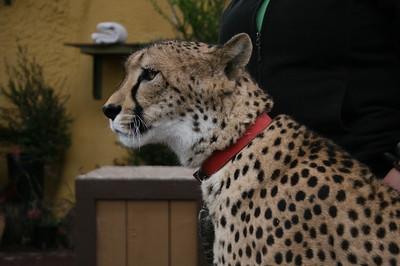 Cheetah-Dog Team