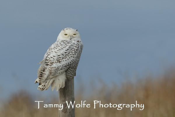 Owl, Snowy