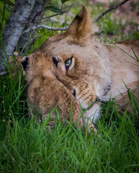 Lions-0117.jpg