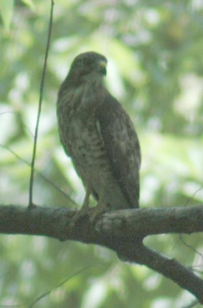 Unidentified Hawk - 2737