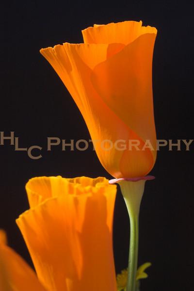 03/29/08 Quartz Hill, CA -  wild flowers