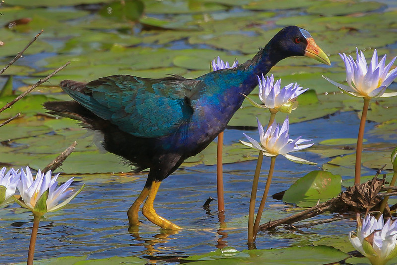zAnahuac 8-21-14, Old T3i, 103A, side view, Purple Gallinule adult (1 of 1).jpg