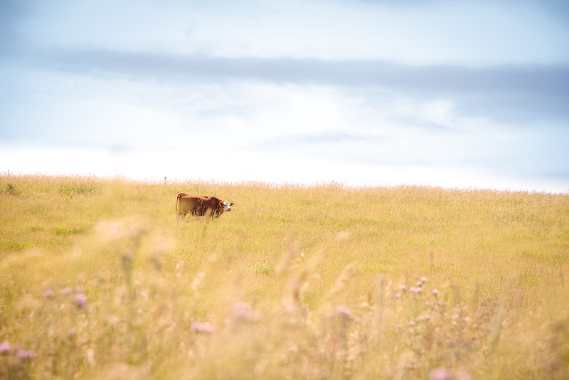 Iowa Cattle and Pastures
