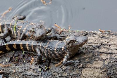 untitled20110202_AlligatorBaby MyakkaLakeFL_7I2B4333_11-02-02